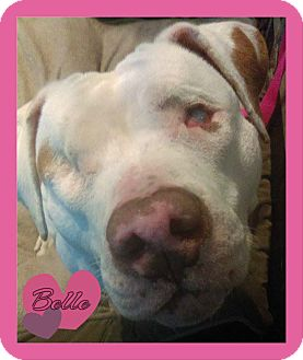 American Pit Bull Terrier Mix Dog for adoption in Des Moines, Iowa - Belle-Adoption pending!