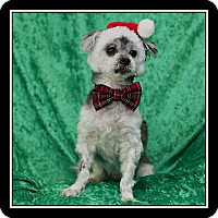 Shih Tzu/Poodle (Miniature) Mix Dog for adoption in San Diego, California - Grayson