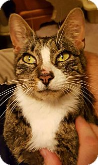 Domestic Shorthair Cat for adoption in Bensalem, Pennsylvania - Meadow