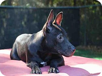Labrador Retriever Mix Dog for adoption in Fort Walton Beach, Florida - KIT