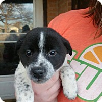 Adopt A Pet :: Inky - Wichita Falls, TX