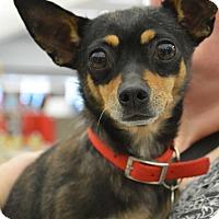 Adopt A Pet :: Lola - Toledo, OH