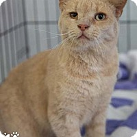 Adopt A Pet :: Cutie - Merrifield, VA