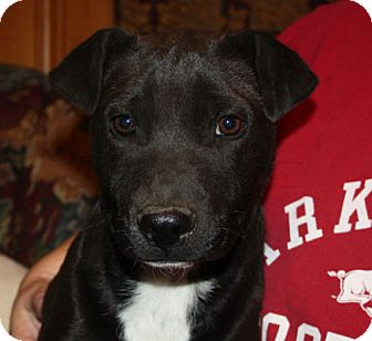 Labrador Retriever Mix Dog for adoption in kennebunkport, Maine - Oreo - PENDING, in Maine!