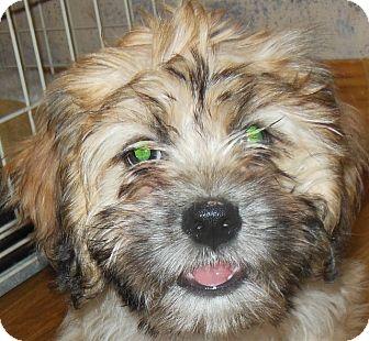 Lhasa Apso/Cavalier King Charles Spaniel Mix Puppy for adoption in MINNEAPOLIS, Kansas - Ben