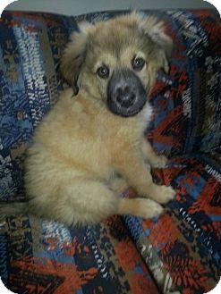Sam   Adopted Puppy   Minneapolis, MN   Leonberger/German Shepherd Dog