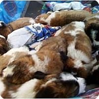 Adopt A Pet :: SAINT BERNARD - Wayne, NJ
