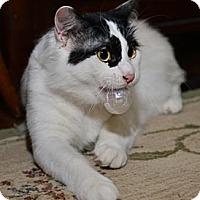 Adopt A Pet :: Ray Ban - Davis, CA