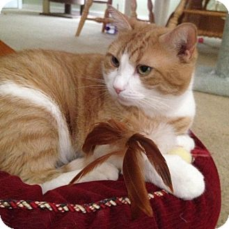 Domestic Shorthair Cat for adoption in Staten Island, New York - Seamus