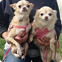 Chihuahua Dog for adoption in Los Angeles, California - Charlotte and Chloe