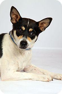 Rat Terrier Dog for adoption in St. Louis, Missouri - Jack RT