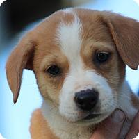 Adopt A Pet :: Cheerio - ADOPTED - Glastonbury, CT