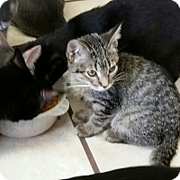 Domestic Shorthair Kitten for adoption in Chippewa Falls, Wisconsin - Benjy