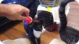 Domestic Shorthair Kitten for adoption in Exton, Pennsylvania - Hewy (MT)