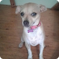 Chihuahua Dog for adoption in Ardmore, Oklahoma - Josie