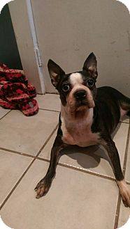 Boston Terrier Dog for adoption in Northumberland, Ontario - Charlotte