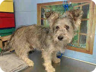 Yorkie, Yorkshire Terrier/Schnauzer (Giant) Mix Dog for adoption in San Bernardino, California - URGENT ON 10/8  San Bernardino