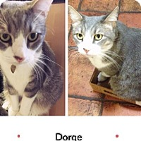 Domestic Shorthair Cat for adoption in Spring, Texas - Dorge