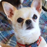 Chihuahua Dog for adoption in Anderson, South Carolina - PIPER
