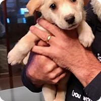 Adopt A Pet :: SMITTY - ST LOUIS, MO
