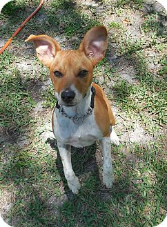 Beagle/Jack Russell Terrier Mix Dog for adoption in Ormond Beach, Florida - Tin Tin