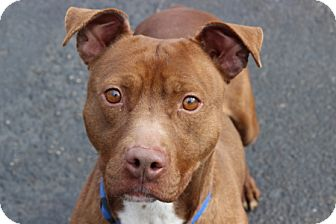 Pit Bull Terrier Mix Dog for adoption in Port Washington, New York - Killian