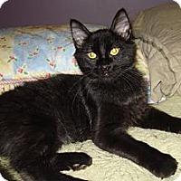 Adopt A Pet :: Puma - St. Louis, MO