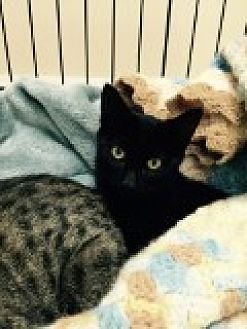 Domestic Shorthair Cat for adoption in Livonia, Michigan - Marcie