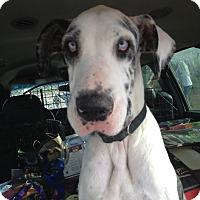 Adopt A Pet :: Isabel - Austin, TX