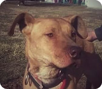 Labrador Retriever/American Pit Bull Terrier Mix Dog for adoption in Paris, Illinois - Lilly