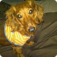 Adopt A Pet :: Miloh - Henderson, NV