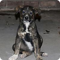 Adopt A Pet :: Lando - Phoenix, AZ