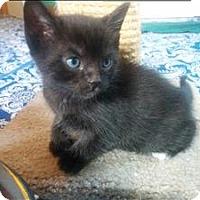 Adopt A Pet :: Pandora K1 Aka Ragna - Sherwood, OR
