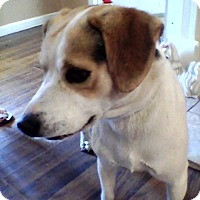 Beagle Mix Dog for adoption in Russellville, Kentucky - Olaf