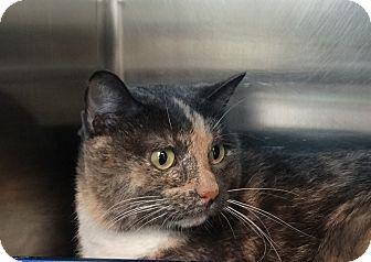 Calico Cat for adoption in Elyria, Ohio - April