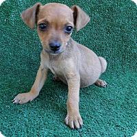Adopt A Pet :: Filo - San Diego, CA