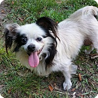 Adopt A Pet :: Annabelle - Andalusia, PA