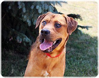Labrador Retriever/Rhodesian Ridgeback Mix Dog for adoption in Welland, Ontario - Jimbo