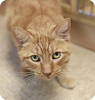 Domestic Shorthair Cat for adoption in Kettering, Ohio - Teddy