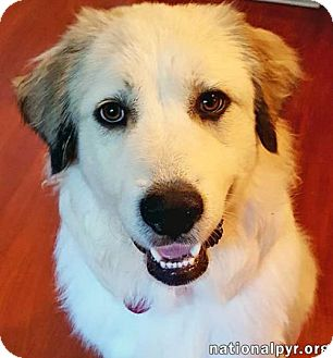 Great Pyrenees Dog for adoption in Beacon, New York - Purdy - pending
