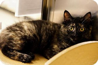Domestic Shorthair Cat for adoption in Ocean, New Jersey - Khannie