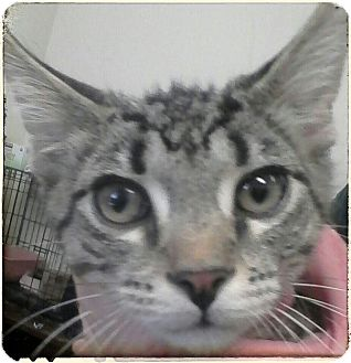 Domestic Shorthair Kitten for adoption in Trevose, Pennsylvania - Gronk