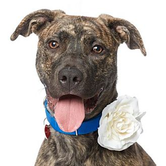 Mastiff/American Pit Bull Terrier Mix Dog for adoption in Los Angeles, California - Shylo
