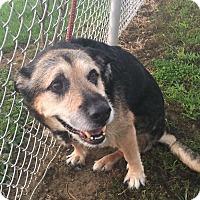 German Shepherd Dog Mix Dog for adoption in Sharon Center, Ohio - Barley