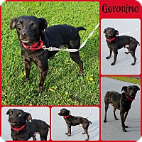 Chihuahua/Italian Greyhound Mix Dog for adoption in Joliet, Illinois - Geronimo