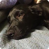 Adopt A Pet :: Bella - Westminster, CO