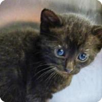 Domestic Shorthair Kitten for adoption in Millersville, Maryland - Goku
