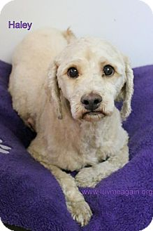 Cockapoo Mix Dog for adoption in Bloomington, Minnesota - Haley