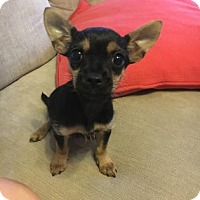 Chihuahua Mix Puppy for adoption in Santa Fe, Texas - Honey Buns