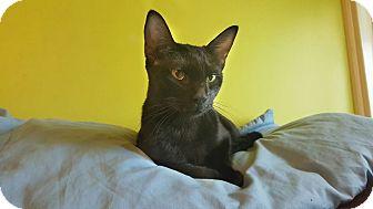 Domestic Shorthair Cat for adoption in Bensalem, Pennsylvania - Daenerys